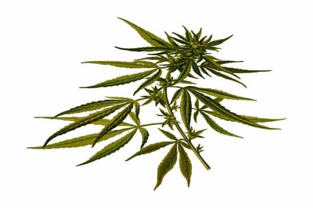 צמח הקנאביס הרפואי